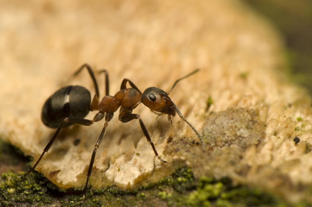 Muurahaispesän Hävittäminen